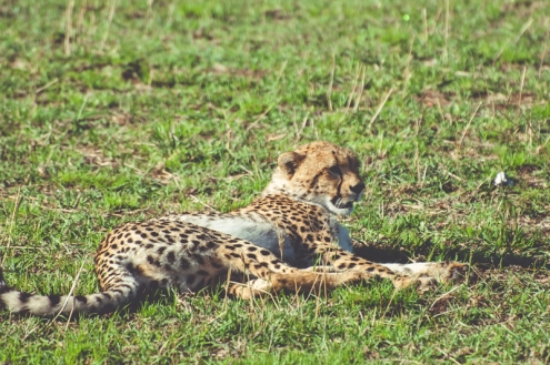serengeti-cheetahs-03