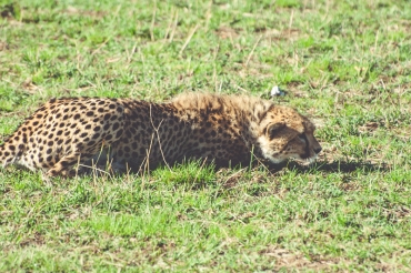 serengeti-cheetahs-04