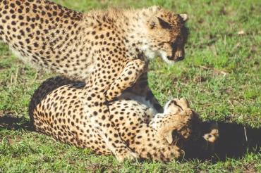 serengeti-cheetahs-05