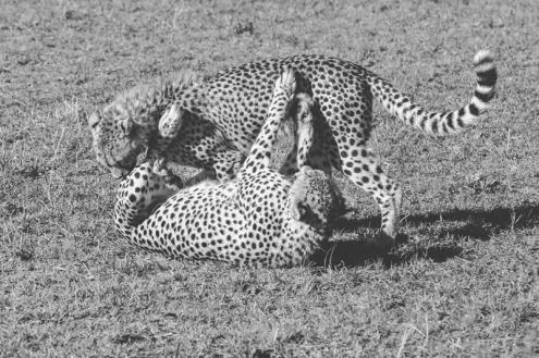 serengeti-cheetahs-06