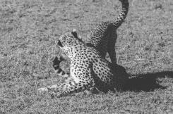 serengeti-cheetahs-07