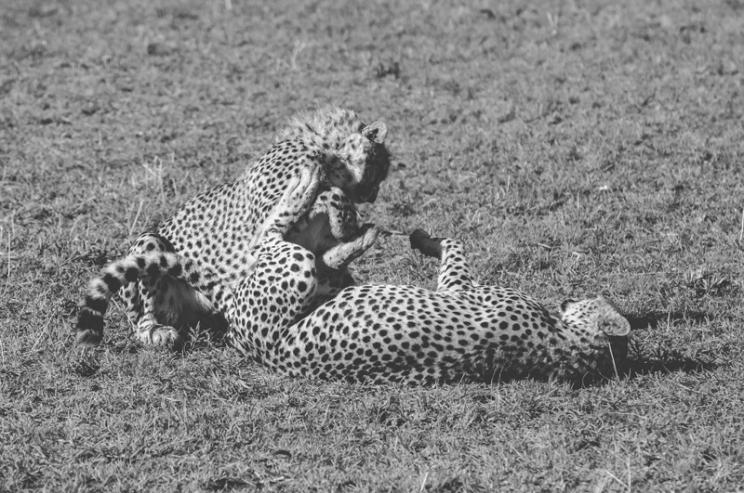serengeti-cheetahs-09