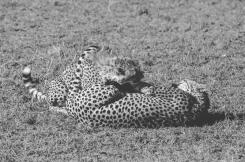 serengeti-cheetahs-10