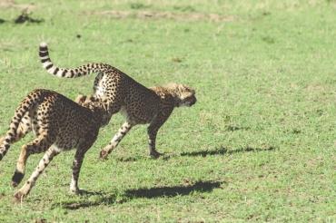 serengeti-cheetahs-13
