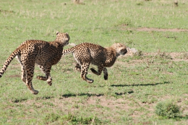 serengeti-cheetahs-14