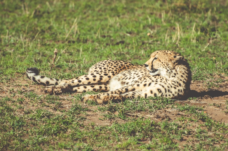 serengeti-cheetahs-16