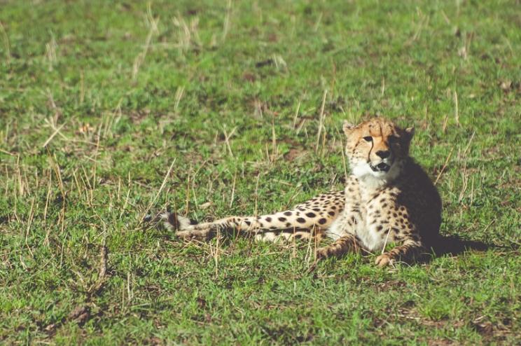 serengeti-cheetahs-20