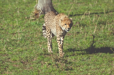 serengeti-cheetahs-21