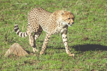 serengeti-cheetahs-22