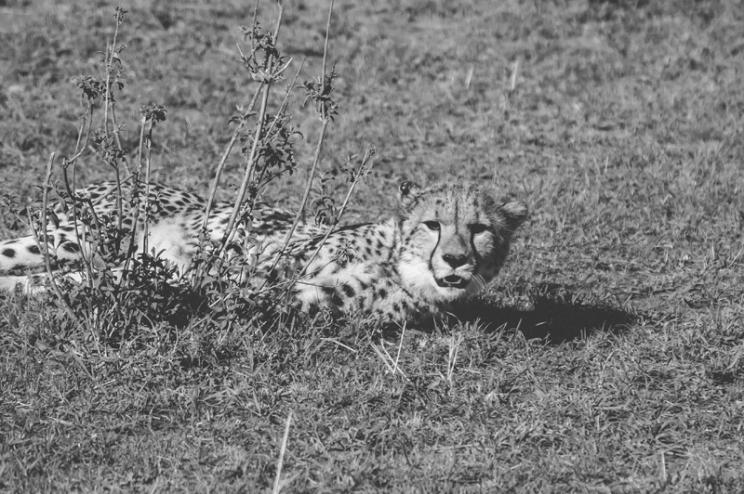 serengeti-cheetahs-23