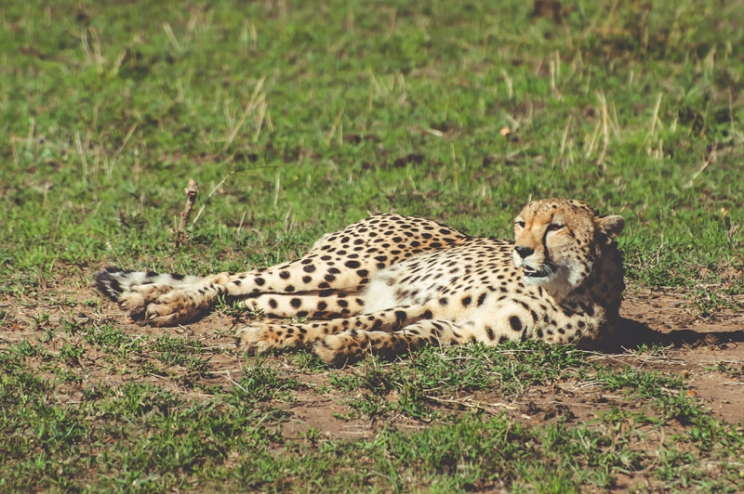 serengeti-cheetahs-24