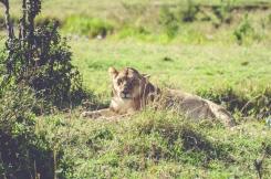 serengeti-migration-03