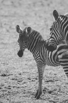 serengeti-migration-05