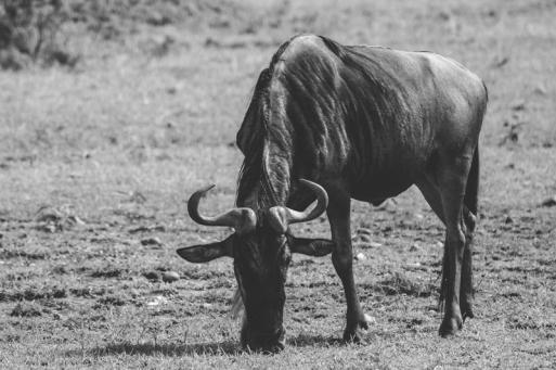 serengeti-migration-07