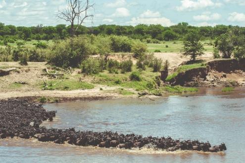 serengeti-migration-13