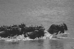 serengeti-migration-14