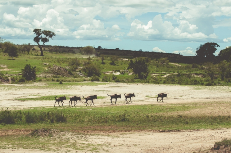 serengeti-migration-20