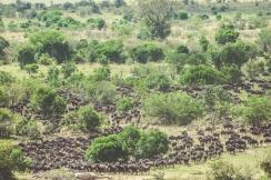 serengeti-migration-42