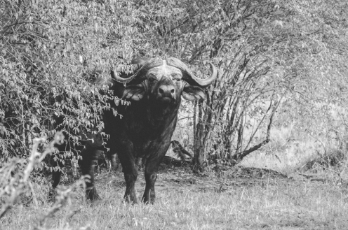 serengeti-migration-44