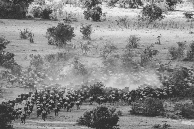 serengeti-migration-45