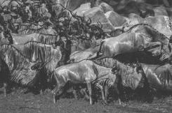 serengeti-migration-46