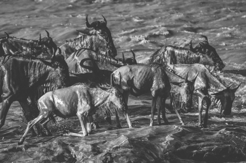 serengeti-migration-48