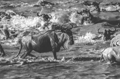 serengeti-migration-49