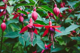 butchart-gardens-11