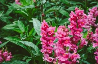 butchart-gardens-14