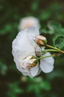 butchart-gardens-51