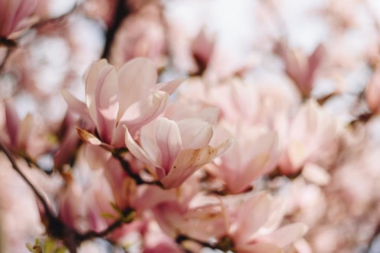 magnolie-2018-15