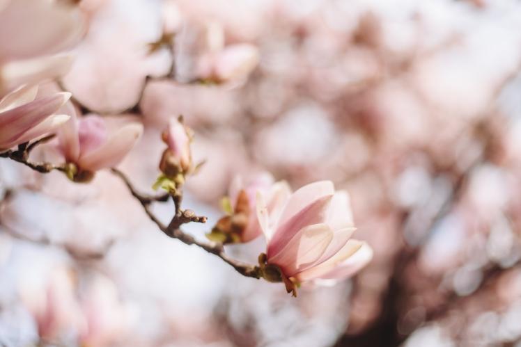 magnolie-2018-17