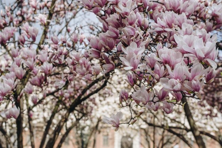 magnolie-2018-18